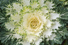 White Ornamental Cabbage plants in flower pot at Doi Angkhang ro Stock Photo