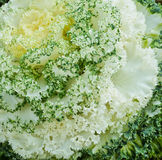 White ornamental cabbage Stock Photography