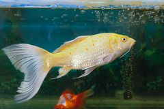 Ornamental fish. The white ornamental fish is swiming in fishbowl Royalty Free Stock Image