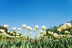 White ornamental tulips on flowerbed on blue sky Stock Photography