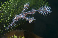 White ornate ghost pipefish Royalty Free Stock Photography