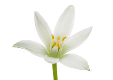 White Ornithogalum (Grass Lily) Flower Royalty Free Stock Images