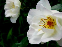 White Oscar Peterson Hardy roses. Close up of white Oscar Peterson Hardy rose on bush stock photos