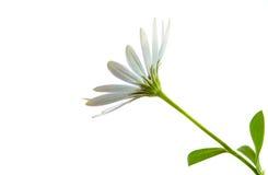 White  Osteospermum Daisy or Cape Daisy Flower Royalty Free Stock Photo