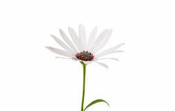White  Osteospermum Daisy or Cape Daisy Flower Stock Images