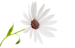 White  Osteospermum Daisy or Cape Daisy Flower Stock Photography