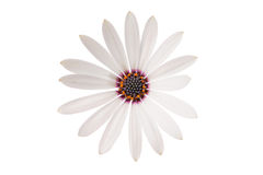White  Osteospermum Daisy or Cape Daisy Flower Royalty Free Stock Images