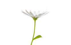 White  Osteospermum Daisy or Cape Daisy Flower Royalty Free Stock Image