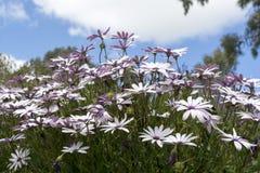 White Osteospermum Ecklonis Bush Royalty Free Stock Image