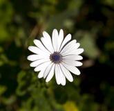 White Osteospermum Flower Stock Photography