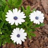 White Osteospermum Royalty Free Stock Photo