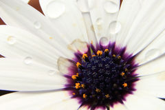 White Osteospermum with water droplets Stock Photo