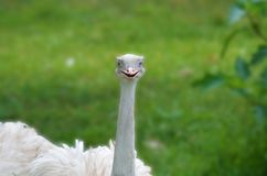 White ostrich with blue eyes. Looks like this common ostrich is smiling and batting her long lashes flirting Royalty Free Stock Image