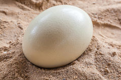 White ostrich egg Stock Images