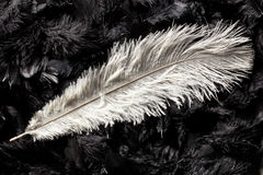 White ostrich feather Stock Photography