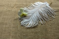 White ostrich feather and orchid flower stock image