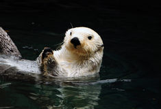 White otter Royalty Free Stock Photography