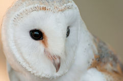 White owl. A close up view of a white owl Stock Photo
