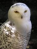 White owl. Sitting on a branch - black backgorund royalty free stock images