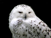White owl. Vise white owl Stock Photography