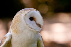 White Owl. An OWL on dark back stock photo