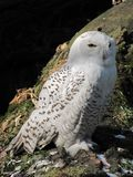 White Owl Stock Image