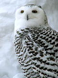 White owl. On the snow Stock Image