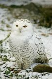 White OWL. Snowy Owl on Snow royalty free stock images