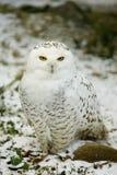 White OWL. Snowy Owl on the Snow stock photos