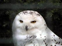 White owl. Owl strange looking Royalty Free Stock Photo