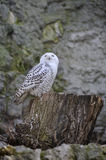 White owl. Sitting on a stub Stock Image
