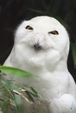 White Owl. Creepy-looking white owl poses for the camera Royalty Free Stock Photo