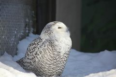 A white Owl in Alaska zoo royalty free stock photography
