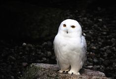 White owl. Beautiful white owl in Lake District Royalty Free Stock Photography
