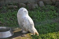 White owl sitting Stock Photo