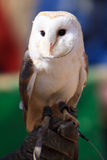 White owl at a bird show Stock Photos