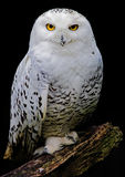 White owl. Covered with waterdrops Royalty Free Stock Image
