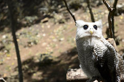 White owl in the forest Royalty Free Stock Image