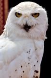 White owl Stock Images