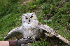 White owl on leather glove Royalty Free Stock Images
