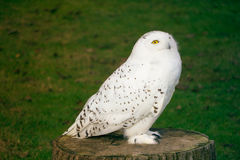 White owl Stock Photography