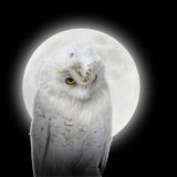 White Owl in Night with Moon. A white owl bird is against a bright glowing moon on a black  background for a predator or nature concept Royalty Free Stock Images