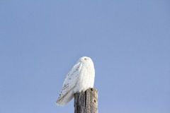 White owl perched on a post. White snow owl perched on a post with a blue sky Royalty Free Stock Images