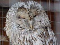 Day dream a white owls. White owl`s day dream at the zoo.Brown and white plumage of a sleeping owl.Sleeping owl in a cage royalty free stock images