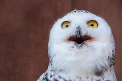 White Owl with shocking meme face royalty free stock images