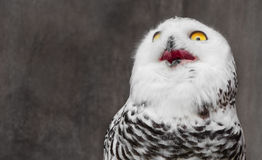 White Owl with shocking meme face stock image