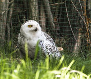 White owl sitting on the ground Stock Image