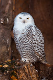 White owl sitting on stump Royalty Free Stock Photos