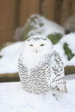 White owl. Snowy Owl (Bubu scandiacus) looking into the camera royalty free stock image
