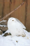 White owl. Snowy Owl (Bubu scandiacus) in the snow royalty free stock images
